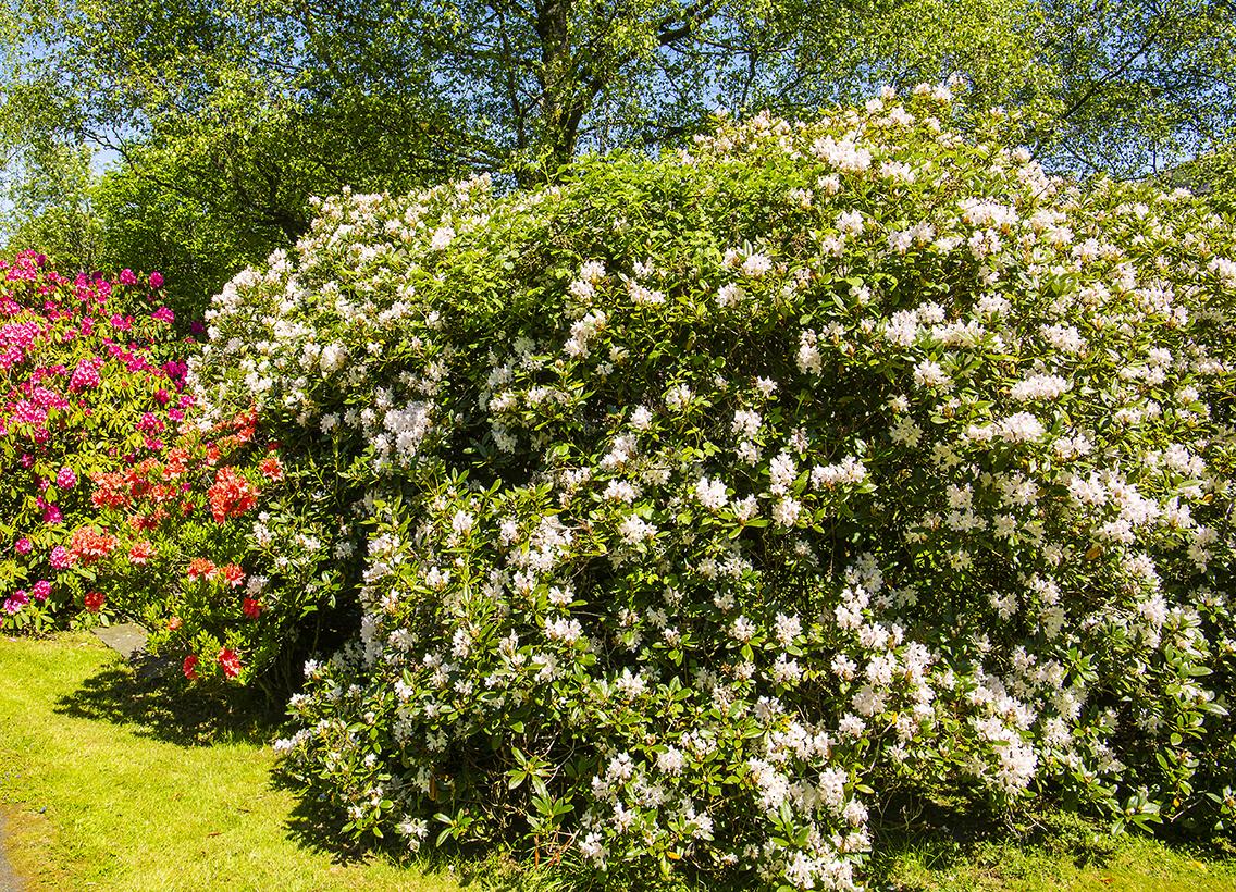 rododendrum bush