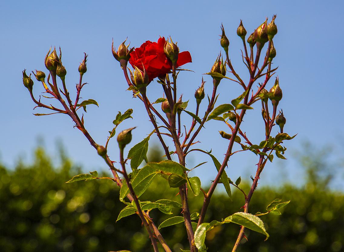 rosemoor 7