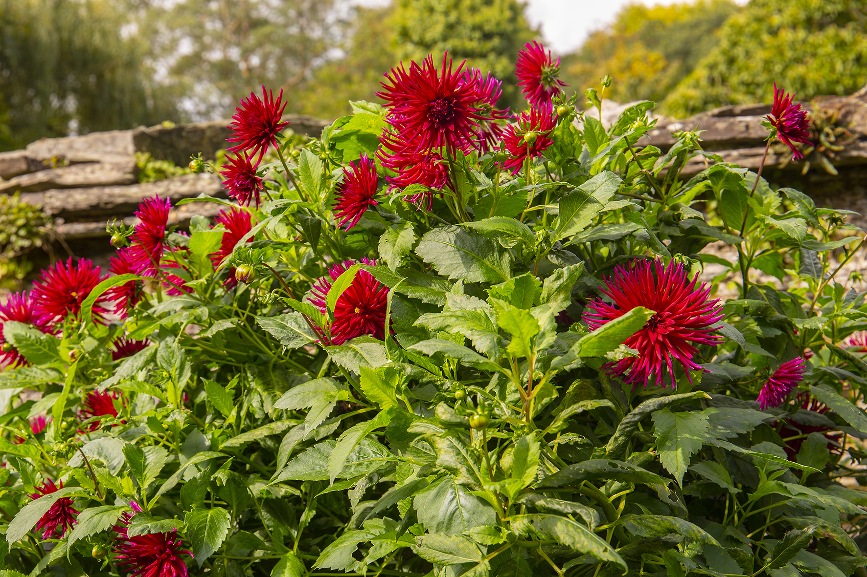 garden house autum dahlia