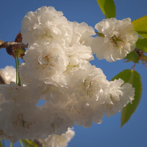 Blossoms in white