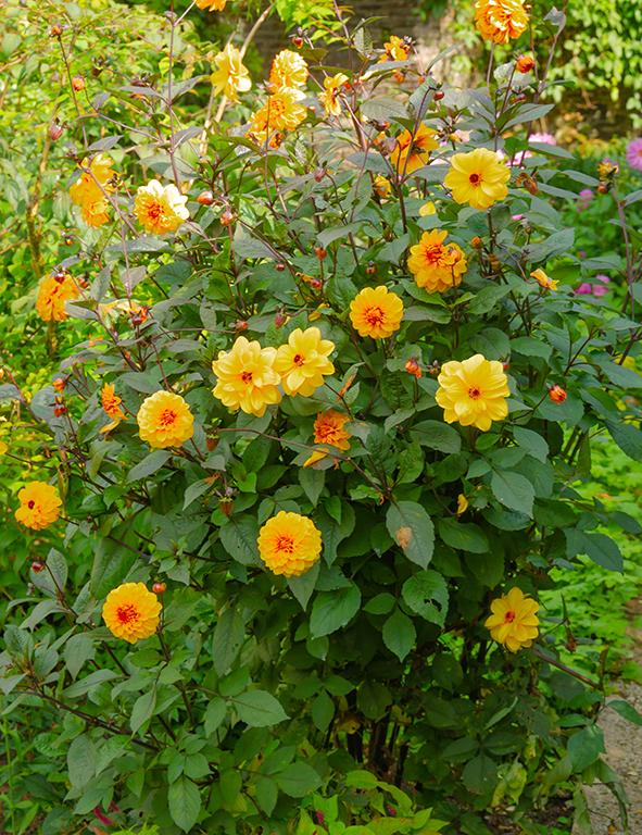 yellow dahlia's