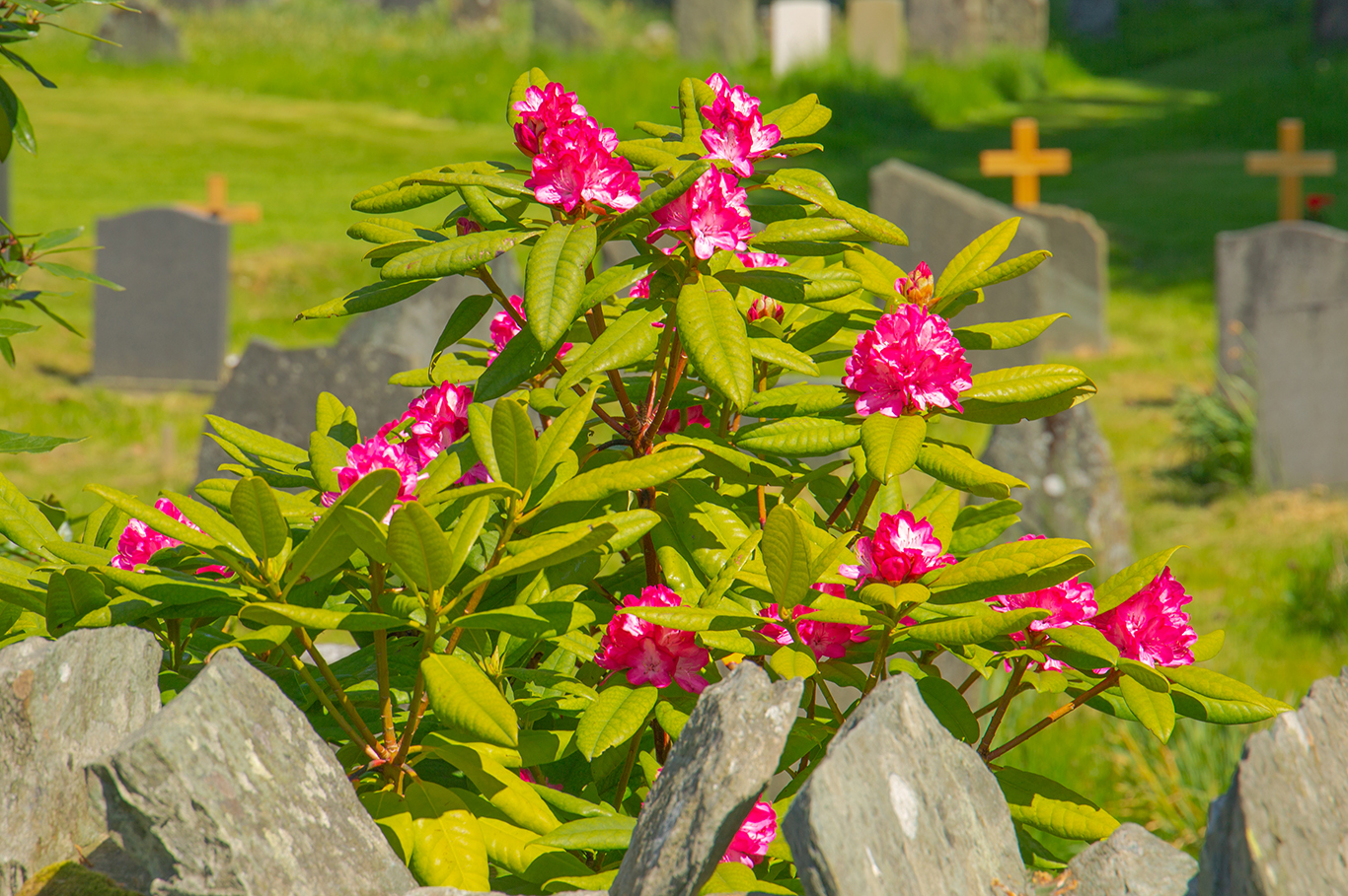 Churchyard rododendrum_