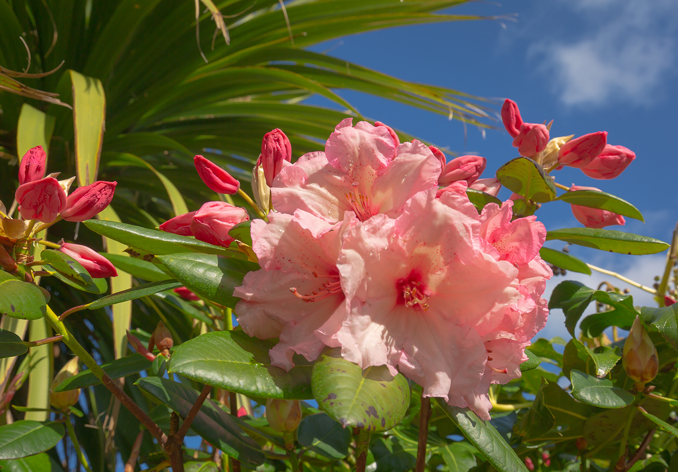 rododendrum blue sky