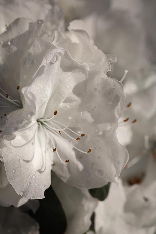 white azalia