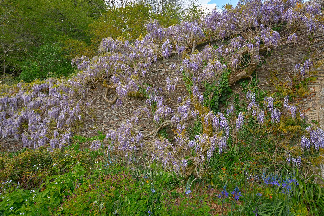 wisteria wall