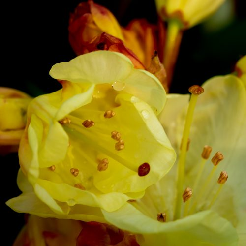 Yellow Rhododendron bloom