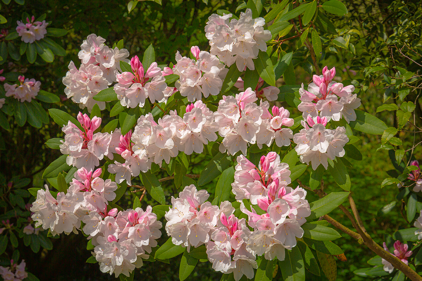 Pink Rhododendrons_