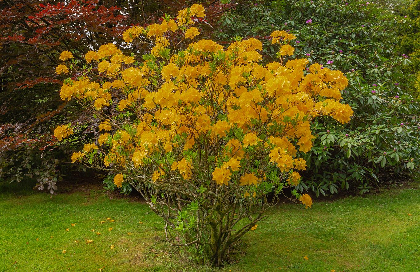 Yellow rododendrum bush