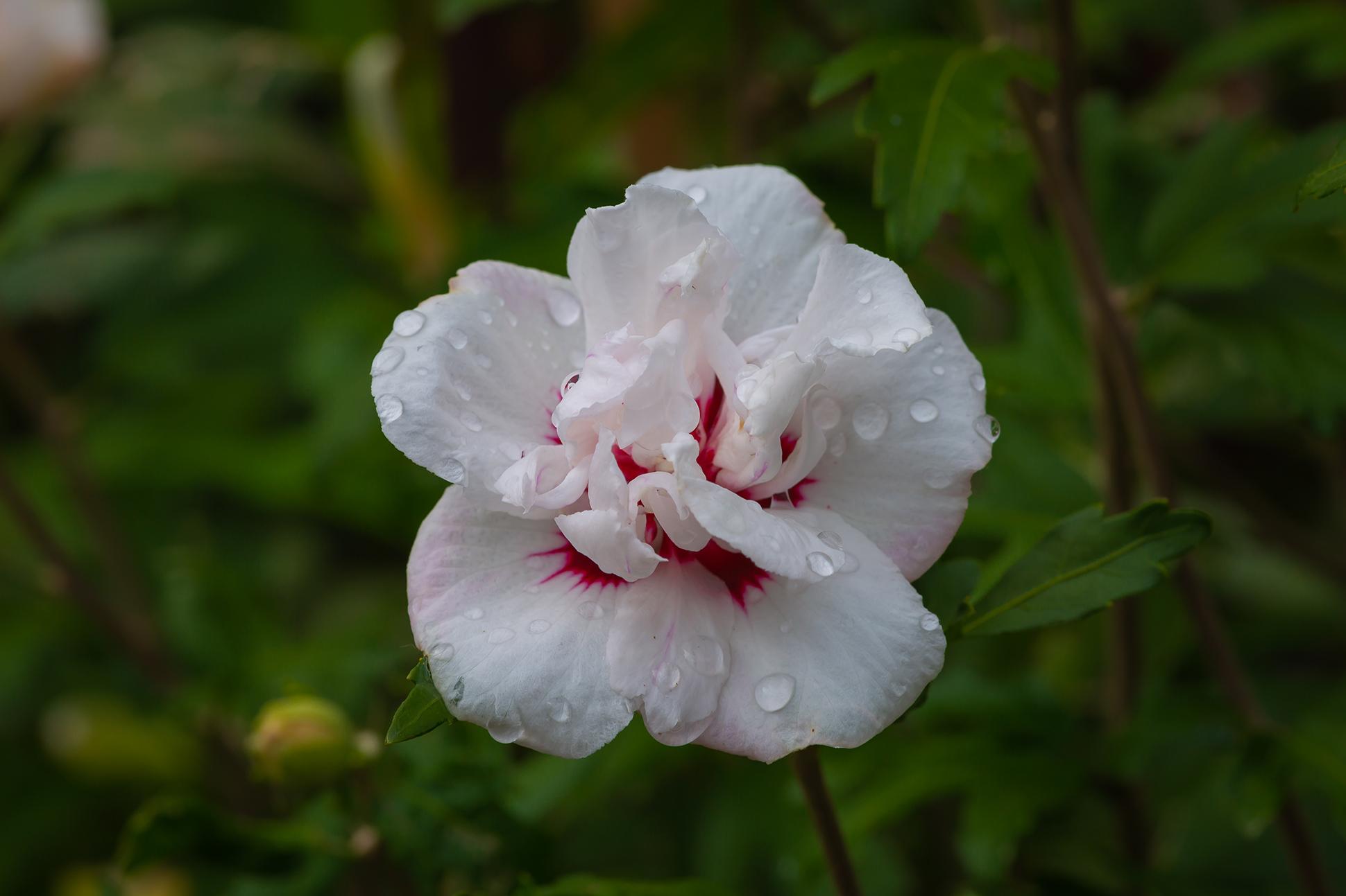 hibiscus (1 of 1)