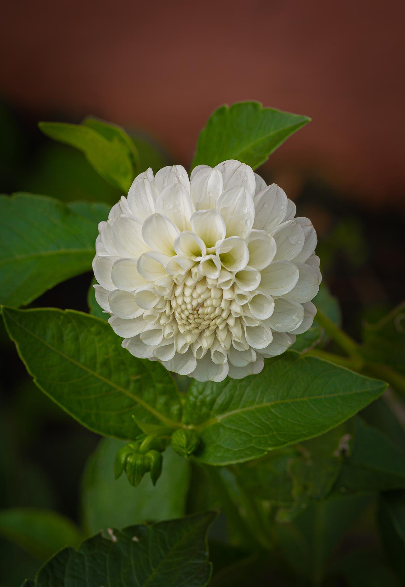white dahlia (1 of 1)