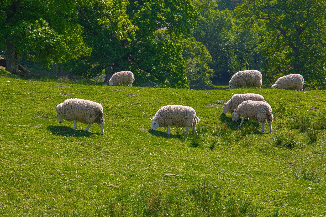 Herdwick sheep grazing (1 of 1)