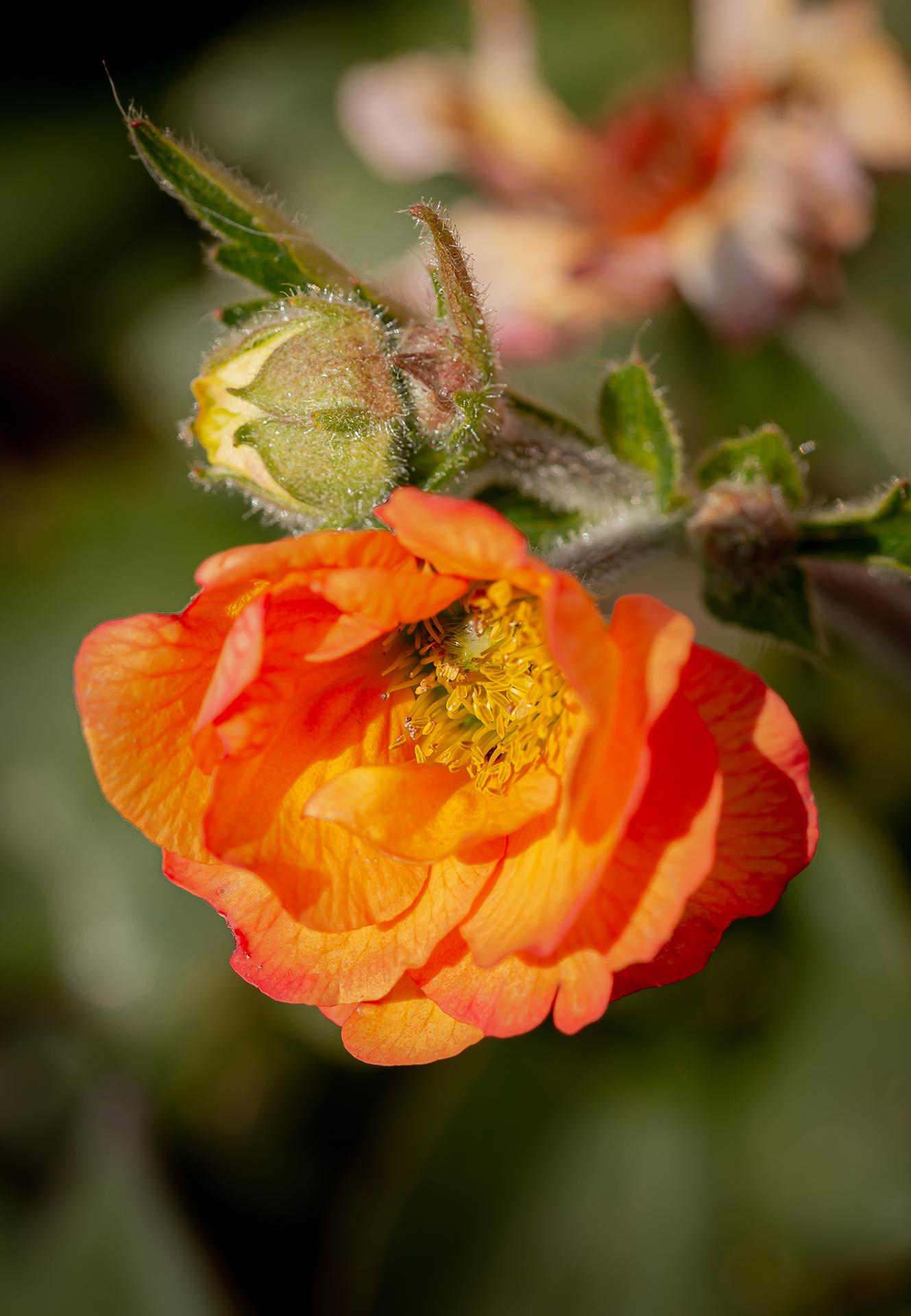 persian buttercup (1 of 1)