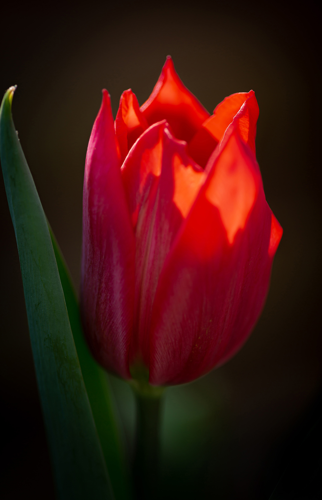 red tulip (1 of 1)