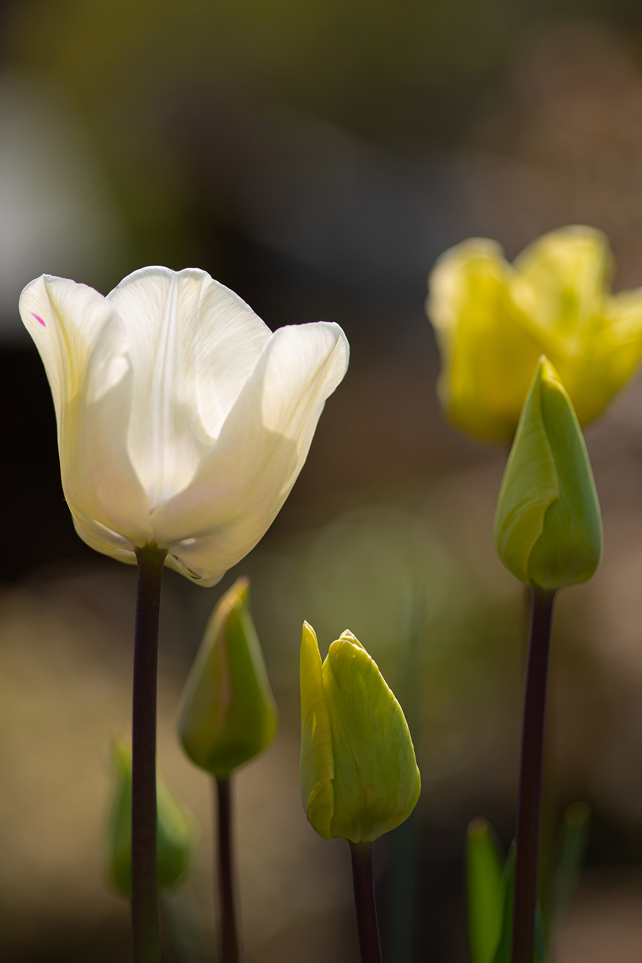 white tulip (1 of 1)