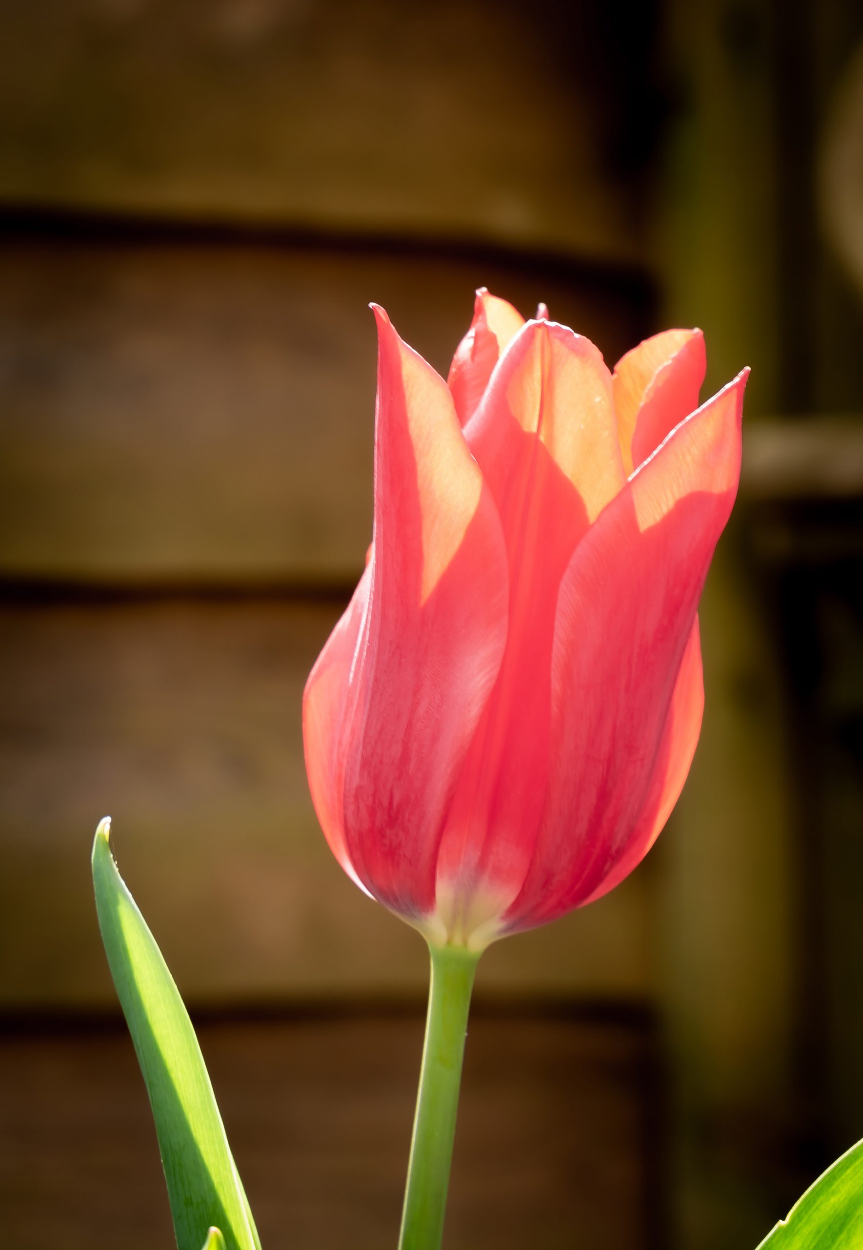 Red and white tulip (1 of 1)