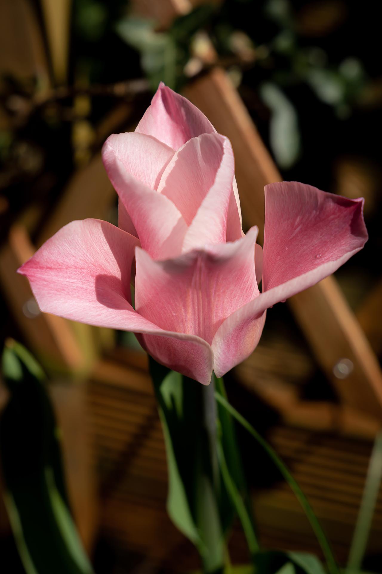 pinkwhite tulipa (1 of 1)