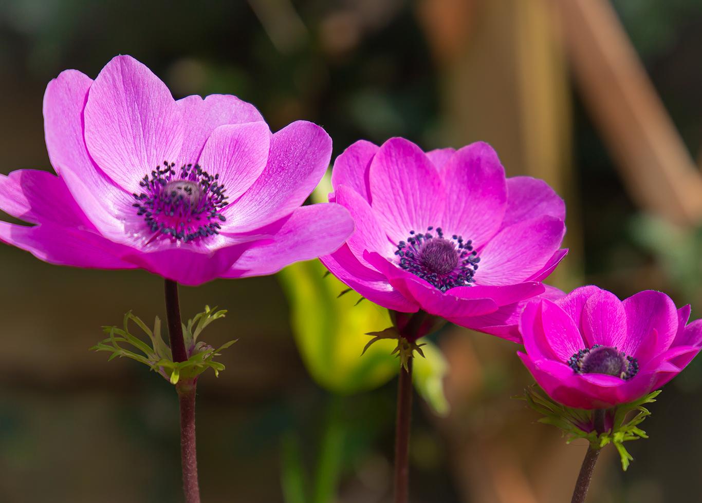 poppy anomone (1 of 1)