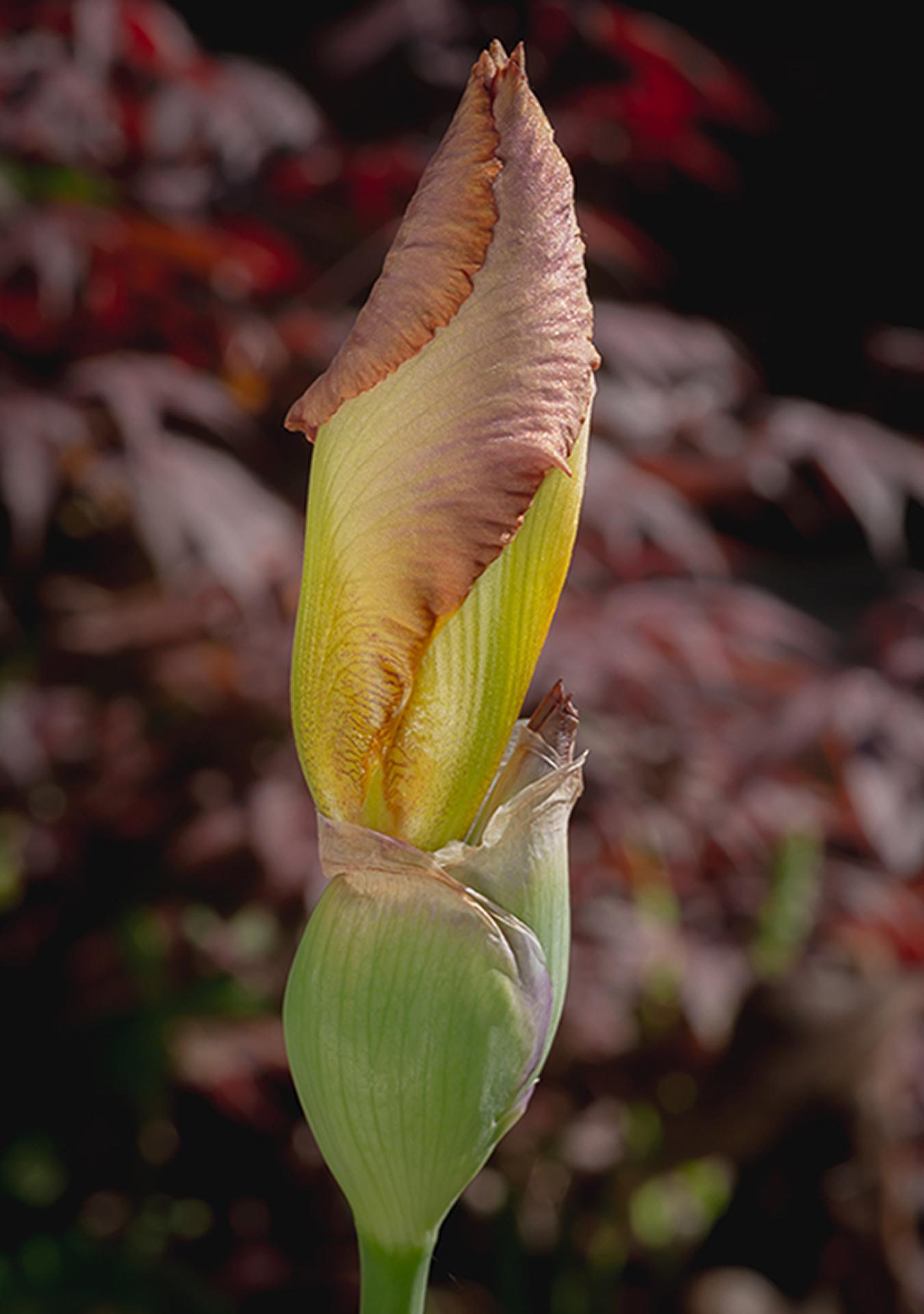 Bearded Iris (1 of 1)
