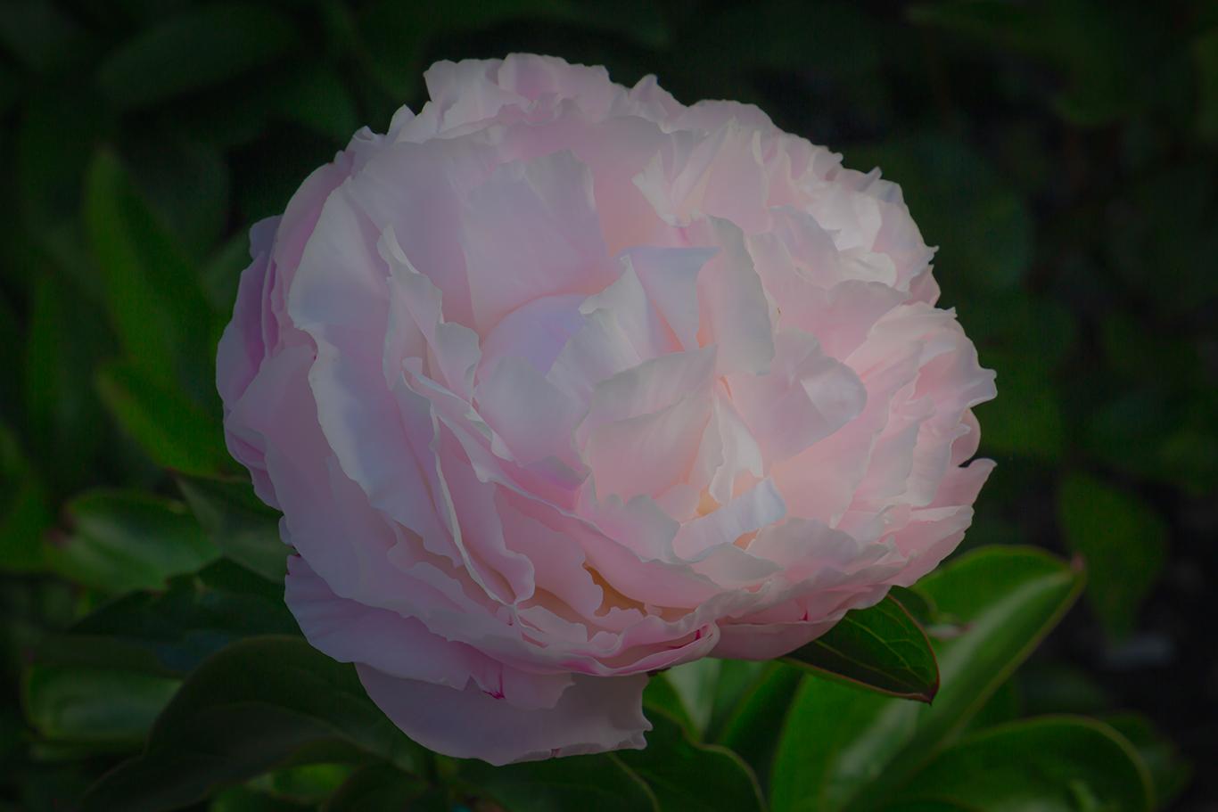 Paeonia lactiflora in bloom