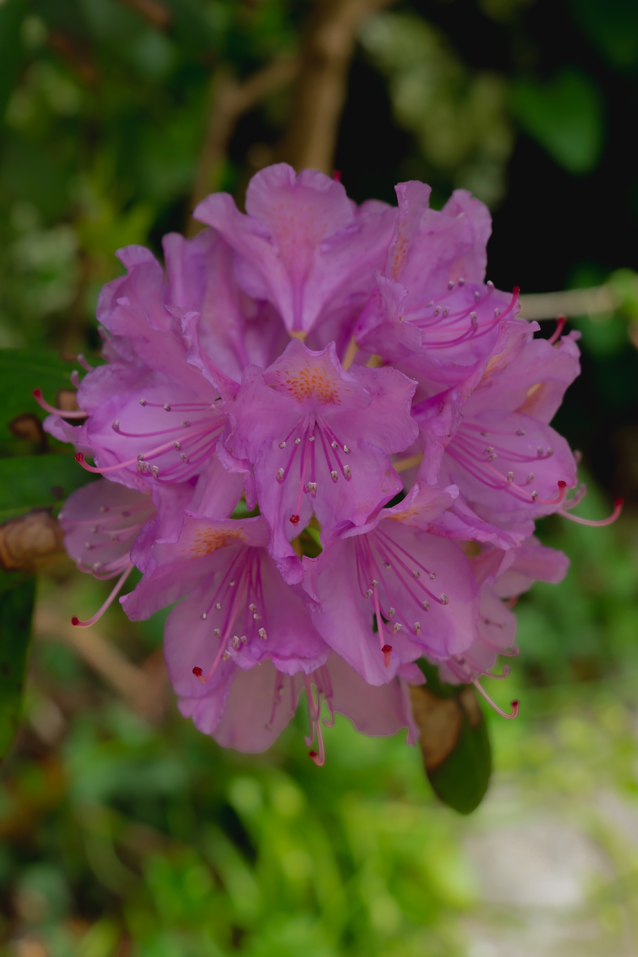 Rhododendron flowers (1 of 1)
