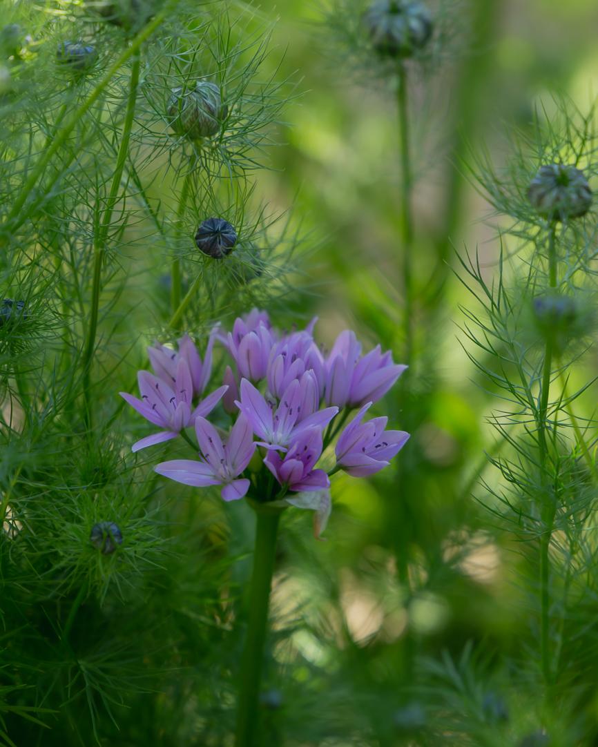 Allium unifolium (1 of 1)