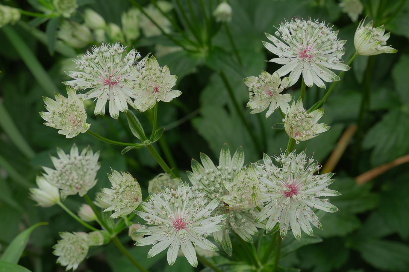 Astrantia bloom (1 of 1)