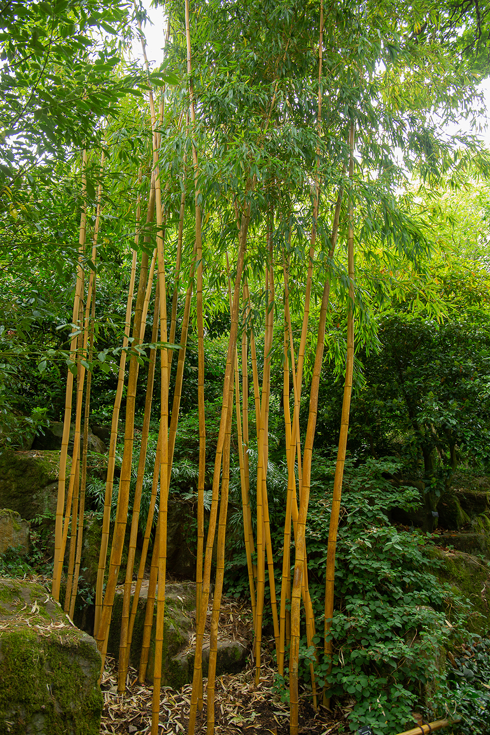 Golden Chinese timber bamboo (1 of 1)