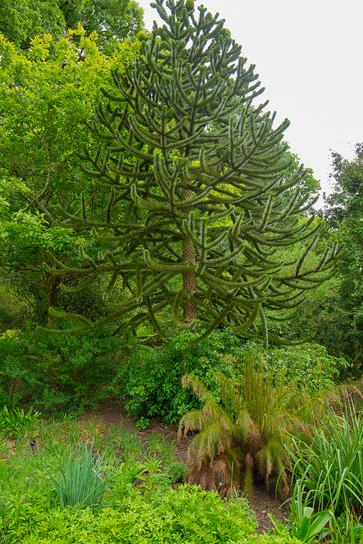 Monkey puzzle tree (1 of 1)