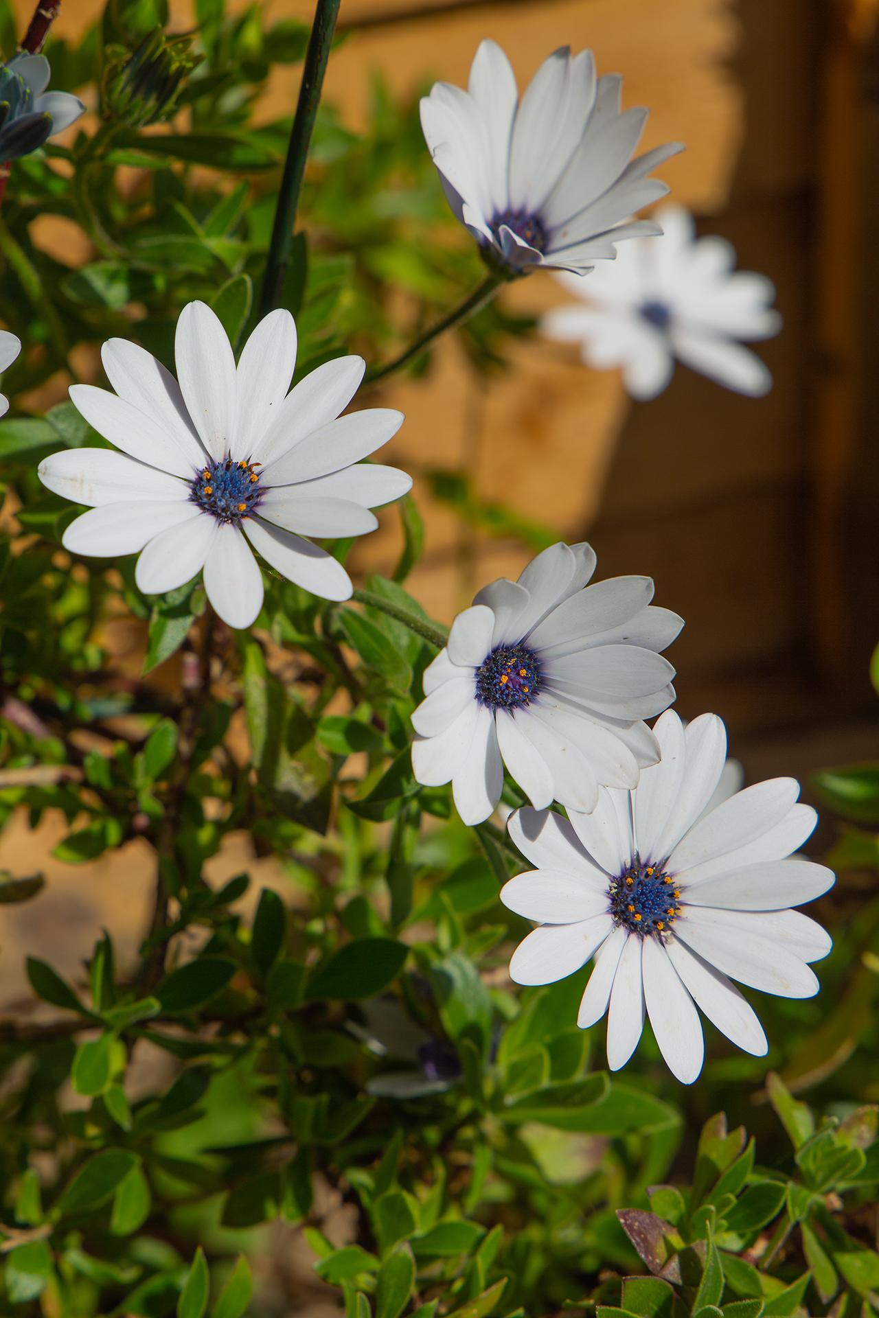 cape marguerite, daisy bush (1 of 1)
