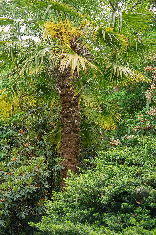chinese windmill palm (1 of 1)