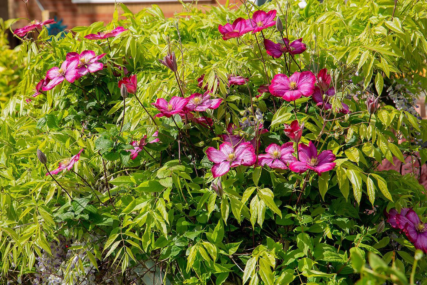 clematis flowers in bloom (1 of 1)