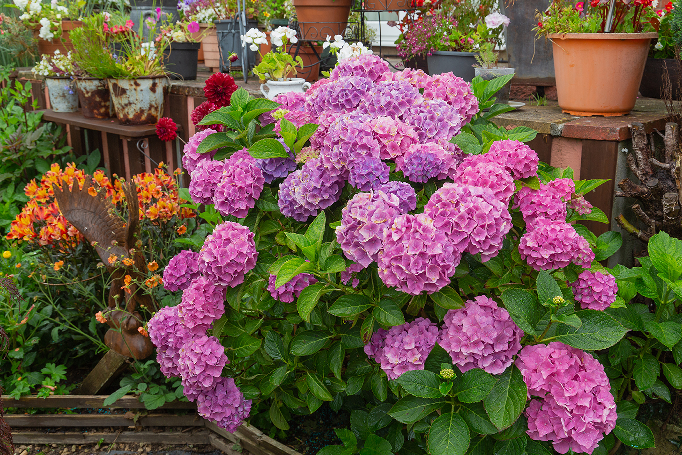 hydrangea macrophylla (1 of 1) – Copy