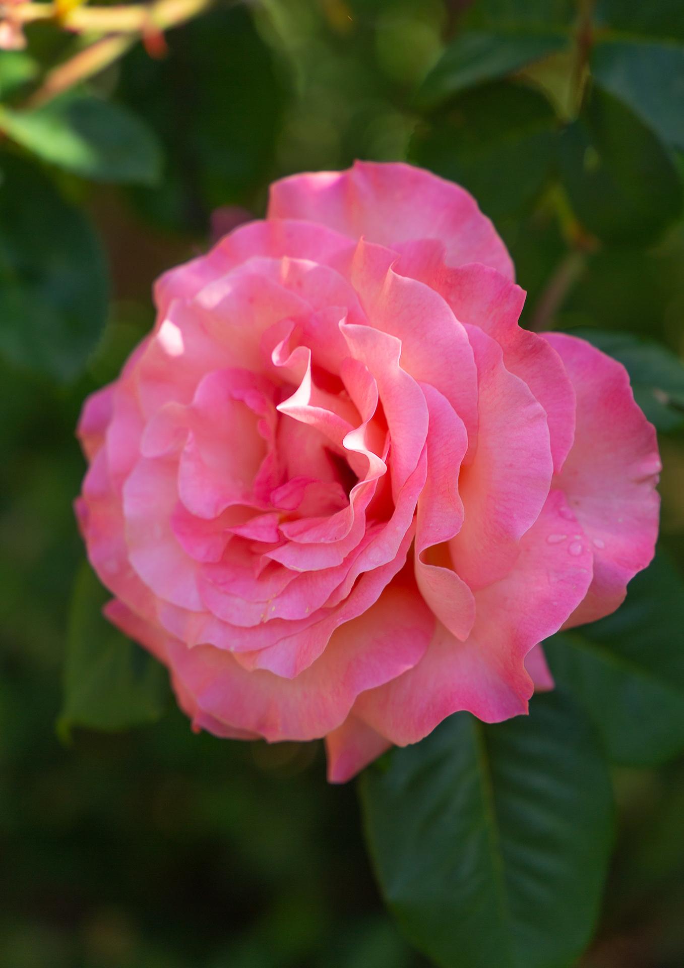 rose in bloom (1 of 1)