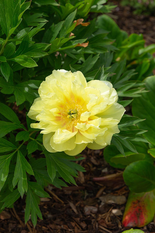 Paeoniaceae (1 of 1)