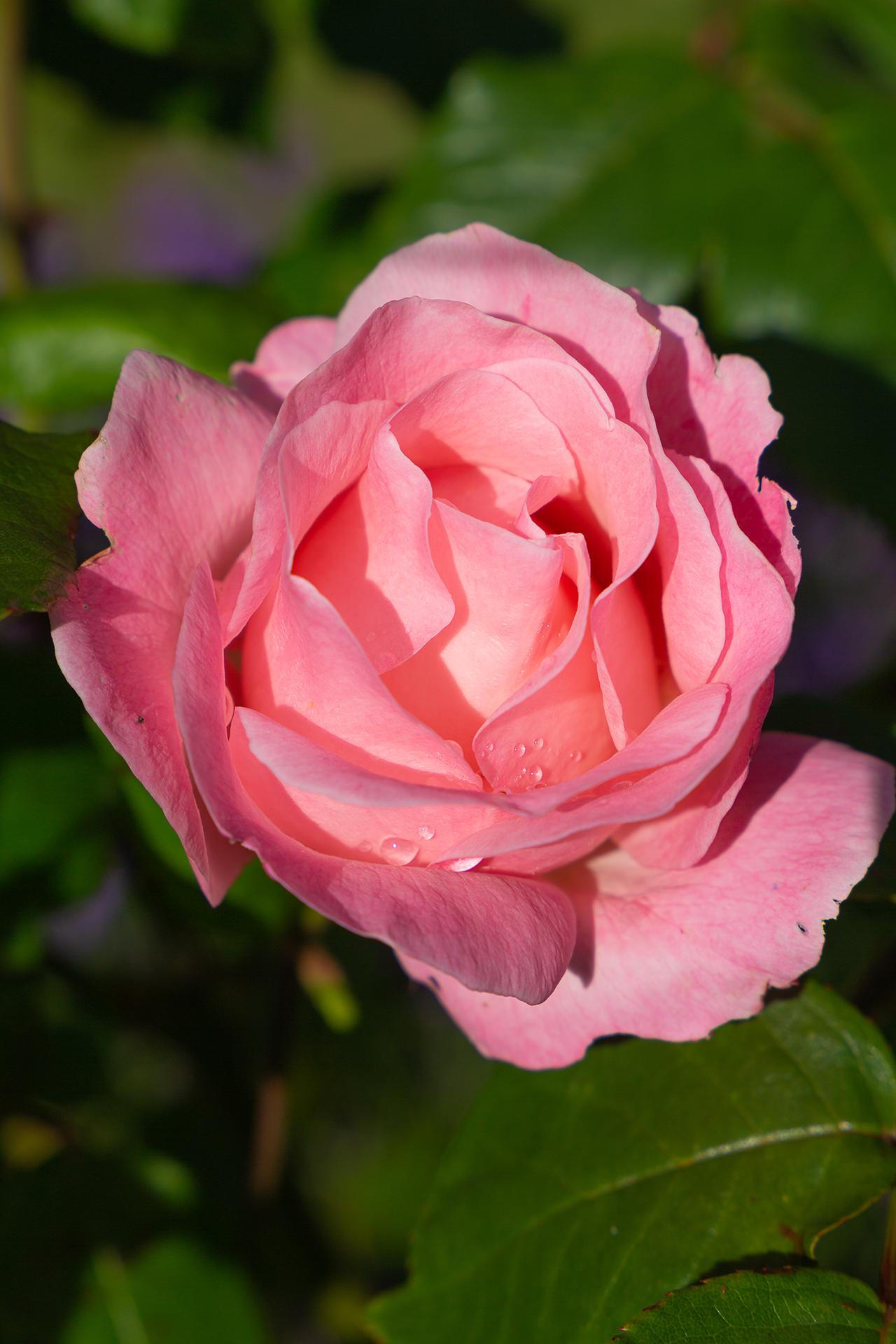 rose blooming (1 of 1)