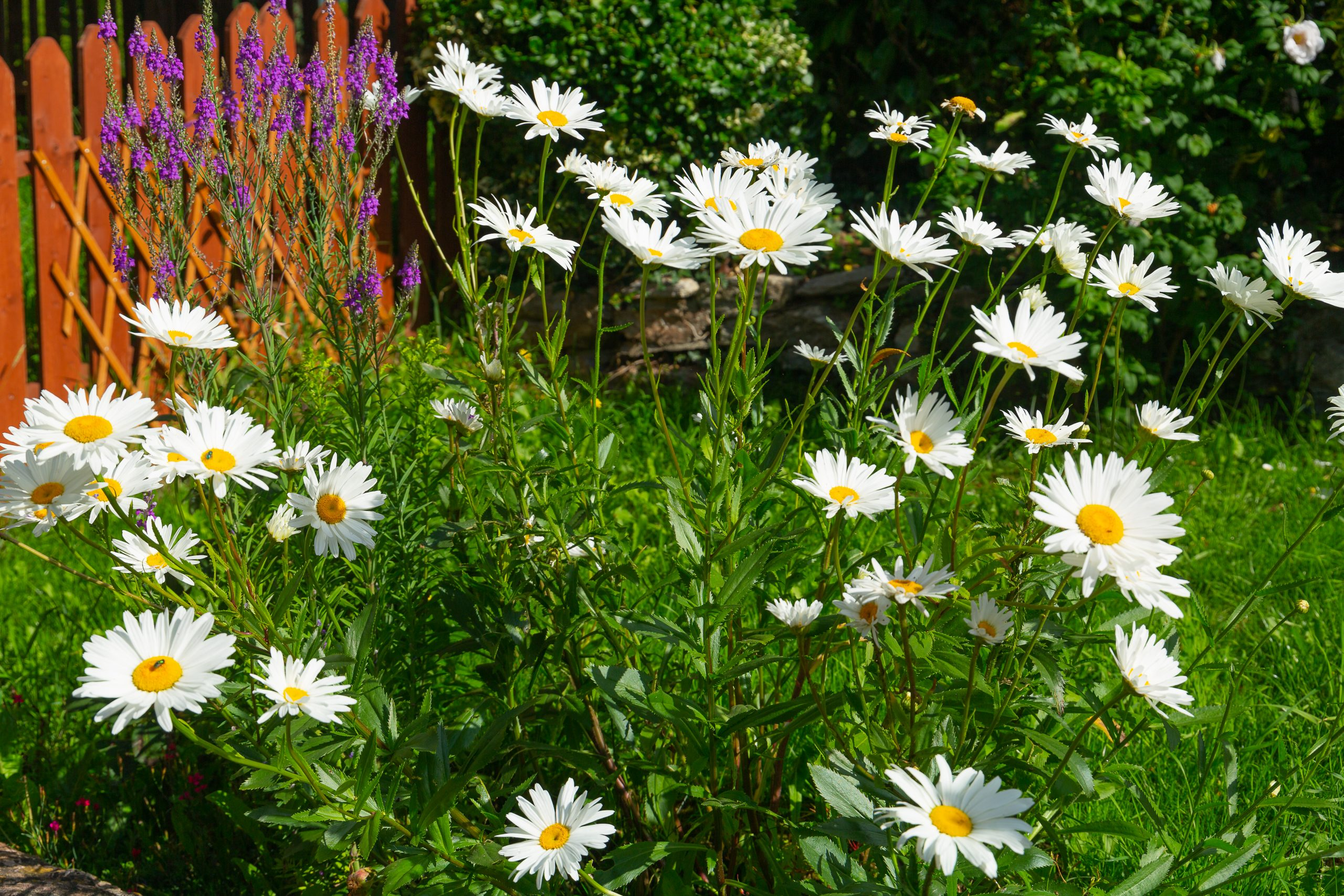 Shasta daisies in full bloom