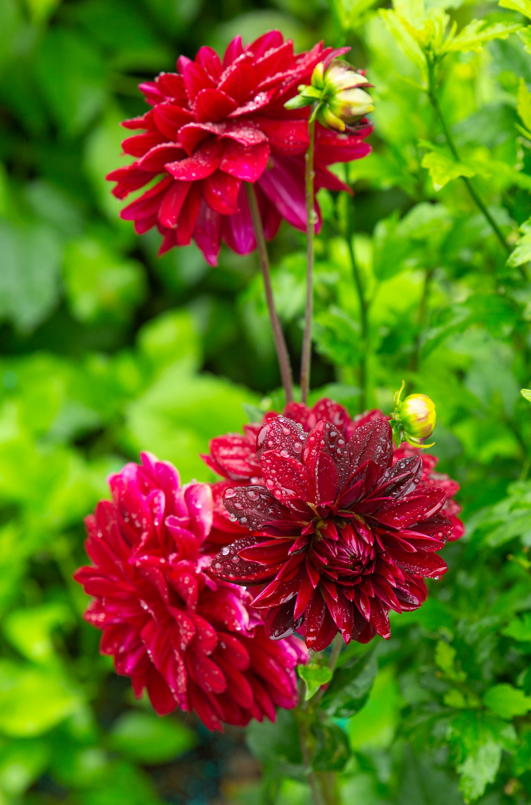 dahlia pinnata, garden dahlia