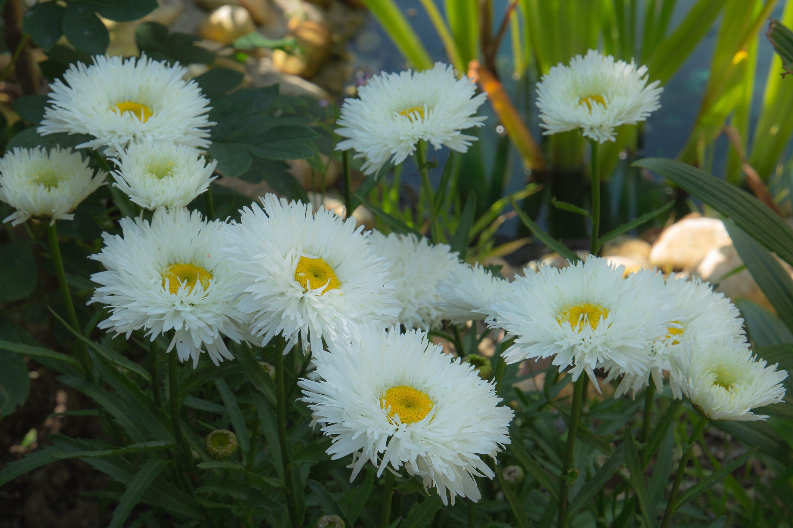 white daisy (1 of 1)