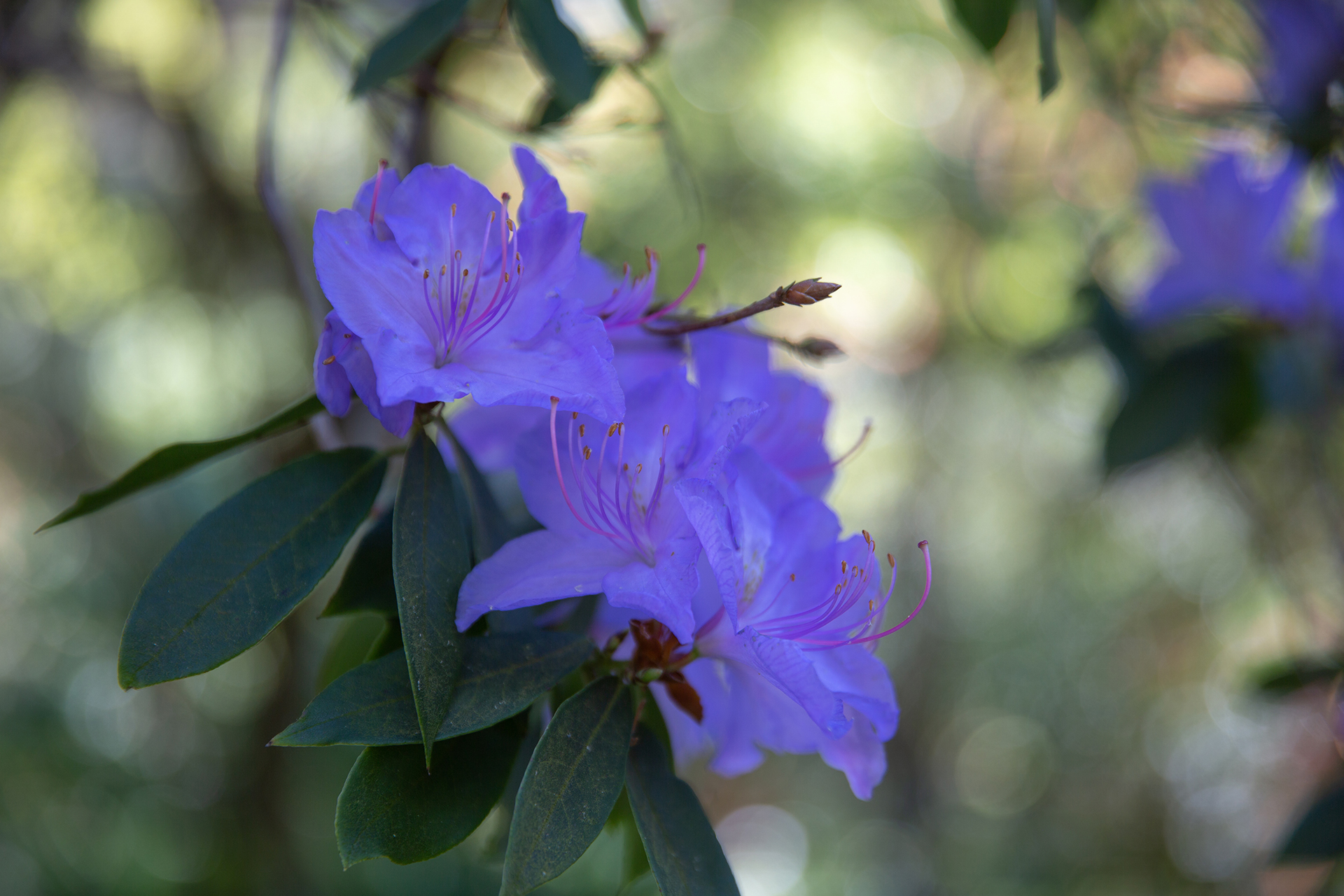rhododendron augustinii hybrid (1 of 1)